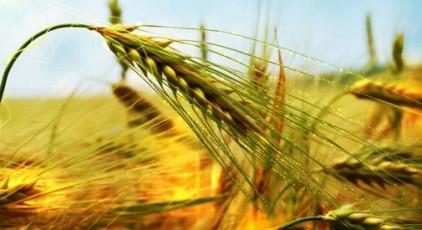 Buğday başağı
